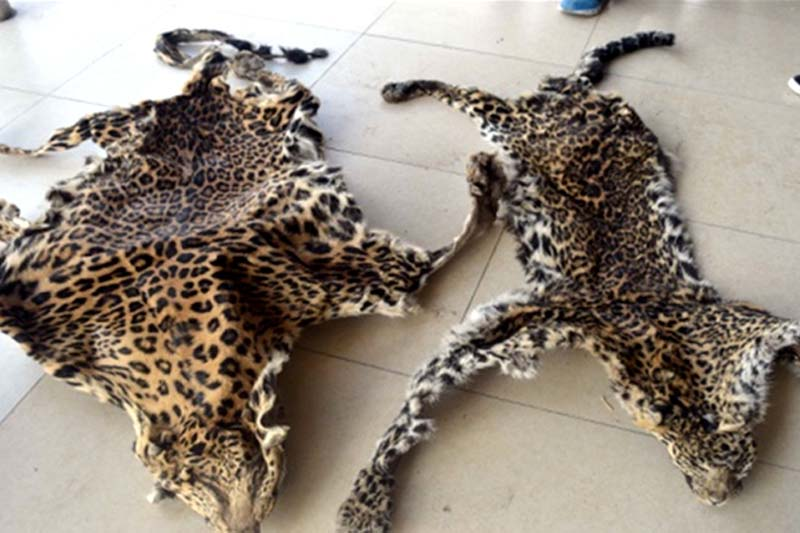 Police make public two leopard hides that were seized from the possession of three persons from Bungamati of Lalitpur, on Monday, May 23, 2016. Photo: MCPD