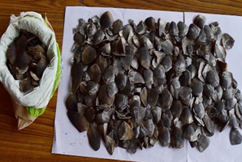 FILE- Seized pangolin scales. Photo: MPCD