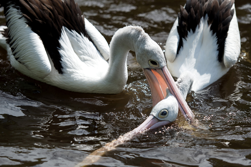Two pelicans tussle in an enclosure at the Bird Park inu00a0Walsrode, Germany on Monday, May 16, 2016. Photo: AP