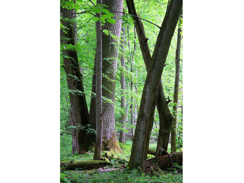 Tree trunks lay in the Bialowieza National Park, a protected part of the Bialowieza Forest in eastern Poland, on May, 2012. Photo: Rafal Kowalczyk/AP