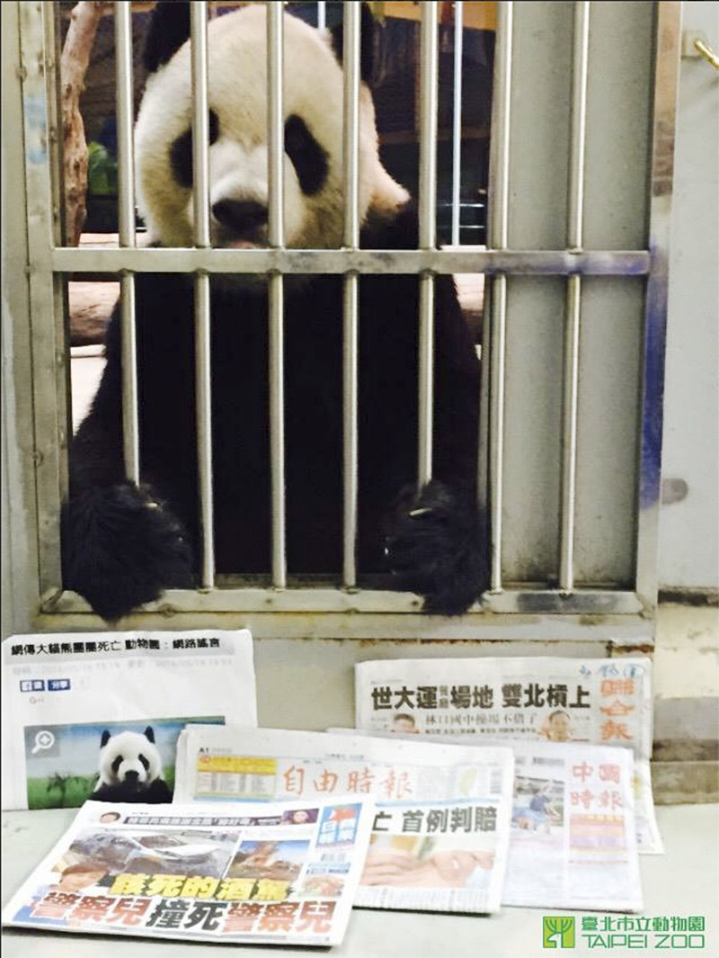 11 year old panda from China named Tuan Tuan is seen sitting upright his cage behind recent local newspaper front pages at the Taipei Zoo, in Taipei, Taiwan, on May 18. Photo: Taipei Zoo via AP