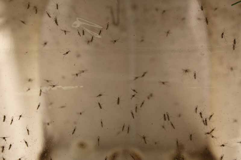 Aedes Albopictus mosquitoes sit in a secured US Department of Agriculture lab in Manhattan, Kansas, on May 4th, 2016. Photo: Josh Replogle/AP