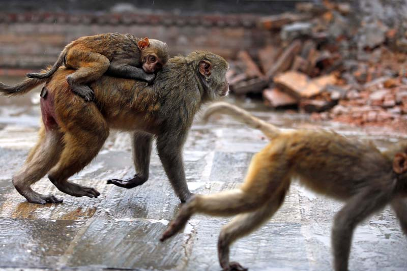 A baby monkey riding on the back of its mother on a rainy morning on the premises of the Pashupatinath Temple, a UNESCO world heritage site, in Kathmandu, on Thursday, May 12, 2016. Photo: Skanda Gautam/ THT
