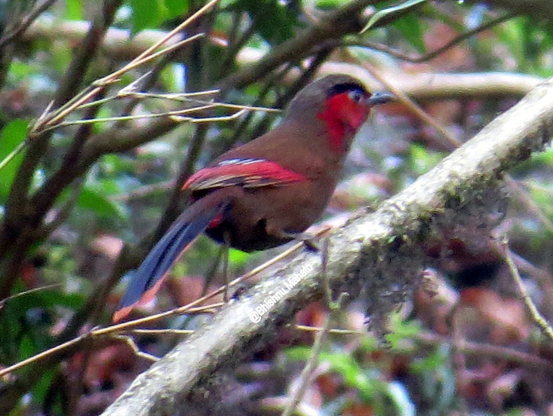 The rediscovered bird red-faced liocichla, presumed to be extinct in Nepal was found in Chisapanitar, Dahakhani VDC in Chitwan district. Photo courtesy: Basu Bidari
