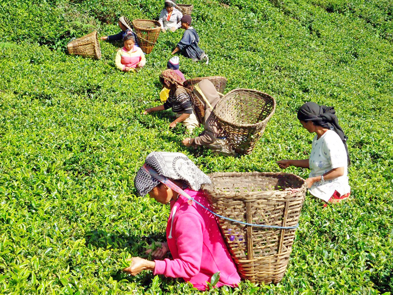 women picking tea leaves at a tea garden in Pashupatinagar of eastern Ilam on Thursday, May 5, 2016. Photo: RSS