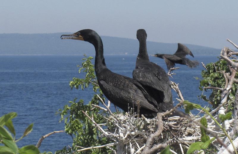 Double-Crested Cormorants, Birds, Wildlife, Lake, Sea Birds