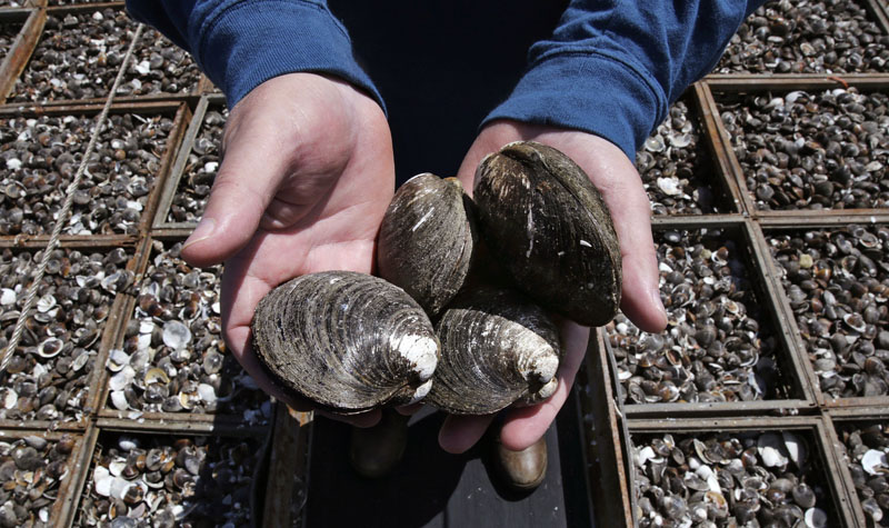 Mike Mohr, captain of the fishing vessel E.S.S. Pursuit, cradles quahog clams on the deck of his ship while offloading a two-day haul at a dock in New Bedford, Massachusetts, on Thursday, May 19, 2016. Photo: AP