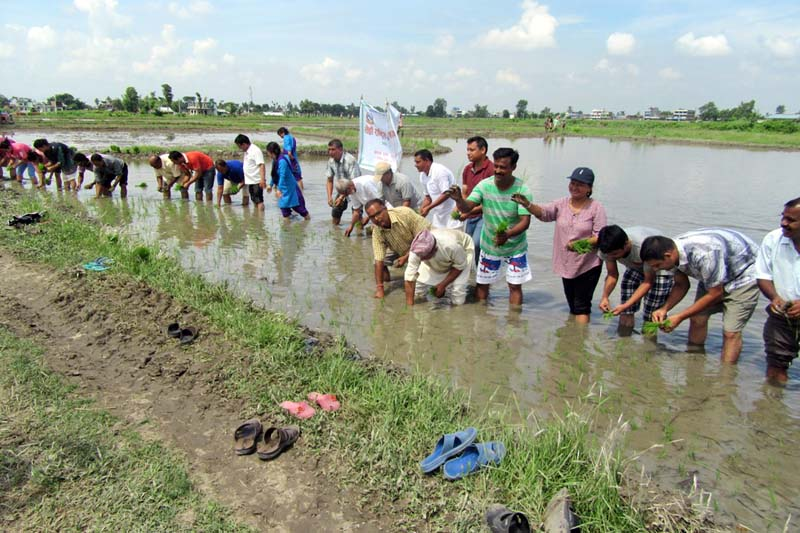 Officials of the Regional Agriculture Research Centre, Itahari, plant paddy saplings to observe the 13th National Paddy Plantation Day at Taraha of the district, on Wednesday, 29 June 2016. Photo: RSS