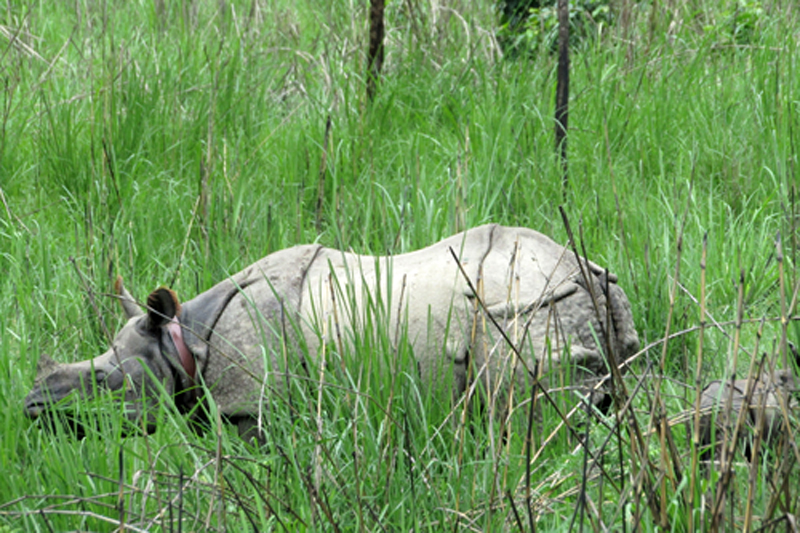 A one-horned rhinoceros, along with its newly born calf, grazes in the field of Guthi area in Babai Valley on Tuesday, June 21, 2016. The rhino was translocated to the Bardiya National Park from the Chitwan National Park on March 5, 2016. Photo: RSS
