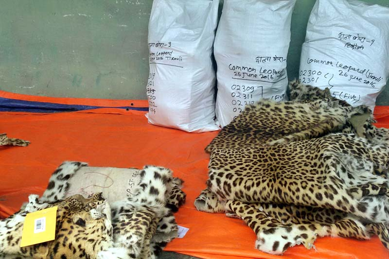 Leopard hides among other confiscated wildlife body parts stocked at the Tikauli-based Armed Forest Ranger Training Centre being coded for disposal, in Chitwan, on Sunday, June 26, 2016. Photo: RSS