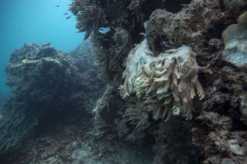 Decomposing coral is shown on the Great Barrier Reef in Australia, in May, 2016. Photo: XL Catlin Global Reef Record via AP