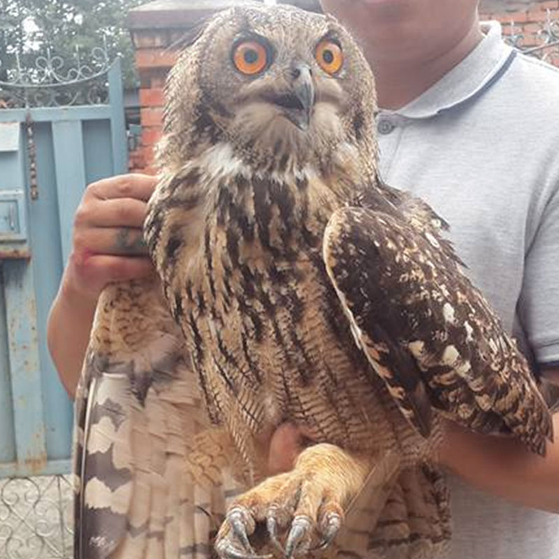 A tawny fish owl which is an endangered species of bird, is rescued from a local residence  at Lalitpur on June 20, 2016. Photo: MPCD