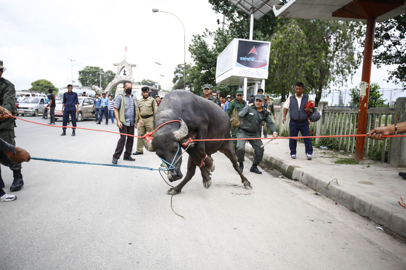 A buffalo tries to free itself after being tied up on a street of Kathmandu on Thursday, June 23, 2016. Photo: Skanda Gautam
