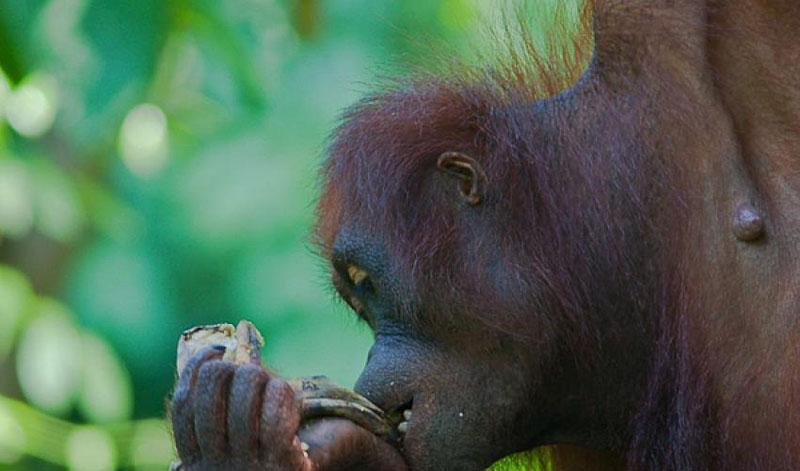 Bornean orangutan. Rapidly expanding palm oil plantations across Borneo are replacing the habitat of the endangered orang-utan and dwarf elephant. Photo courtesy: IUCN
