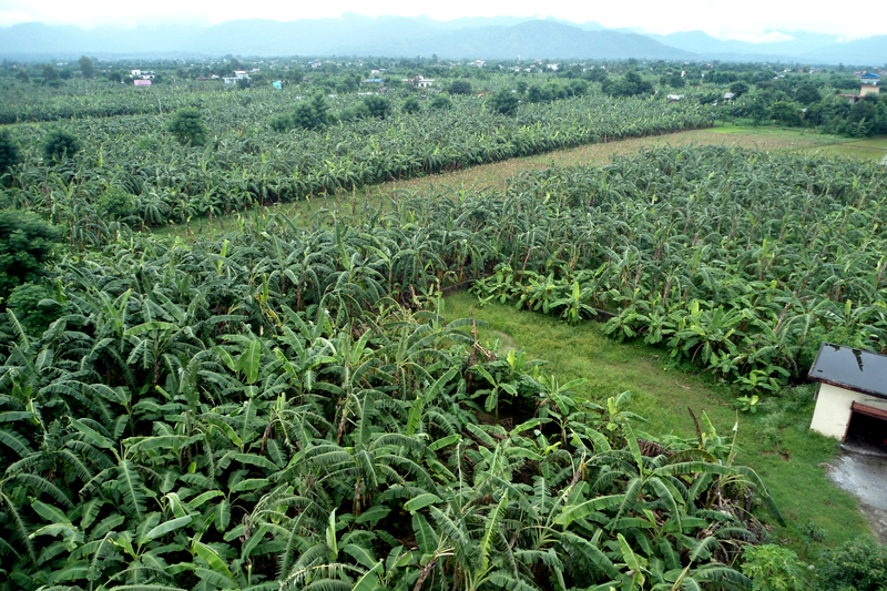 A banana farm in  Ratnanagar, Chitwan, as captured on July 8, 2016. The farmers here are practising commercial banana farming as it fetches them a good income. Photo: RSS