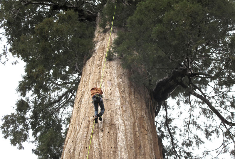 Arborist Jim Clark inches up a giant sequoia to collect new growth from its canopy in the southern Sierra Nevada near Camp Nelson, California, on May 23, 2016. Photo: AP