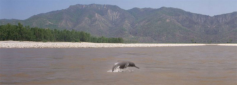 Dolphin jumps over the water surface in a river in Nepal. Photo courtesy: Dolphin Conservation Center (DCC)