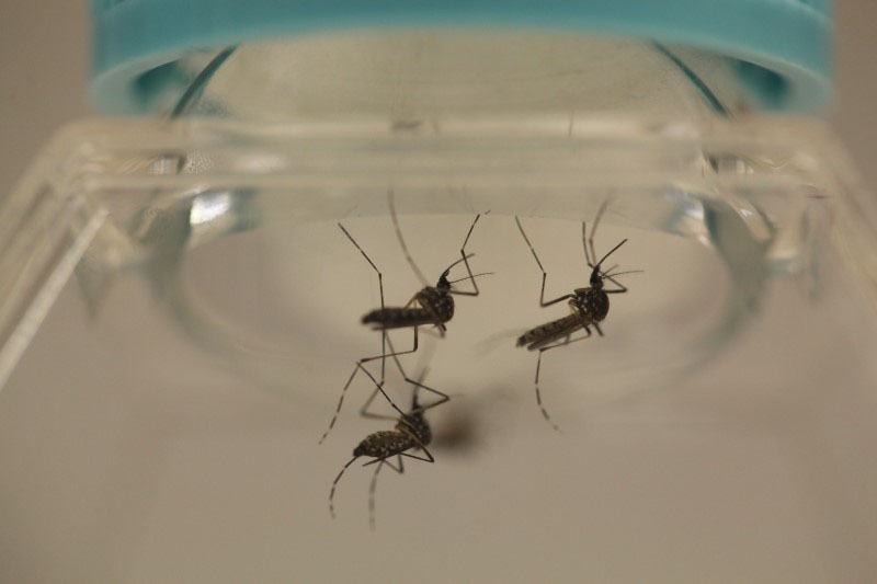 Aedes aegypti mosquitoes are seen at the Laboratory of Entomology and Ecology of the Dengue Branch of the US Centers for Disease Control and Prevention in San Juan, March 6, 2016. Photo: REUTERS