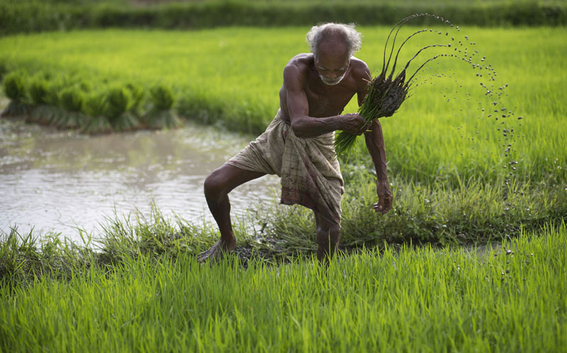 FILE -  A farmer works in a rice paddy field at Reba Maheswar village, 56 kilometres (35 miles) east of Guwahati, India, on July 3, 2015. Photo: AP