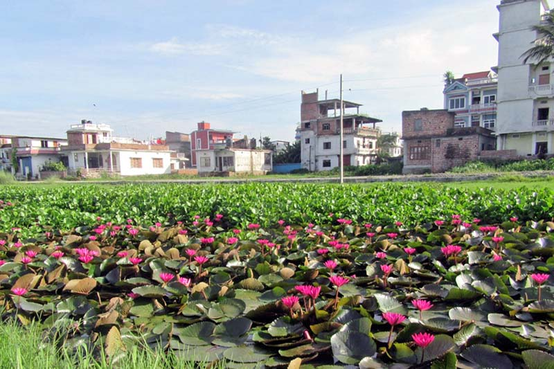 Scores of lotus flowers bloom on the muddy water, in a puddle in Itahari of Sunsari district, on Saturday, July 9, 2016. Photo: RSS