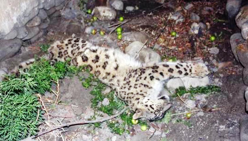 Wounded snow leopard in Chhusang of Mustang district. Photo: RSS