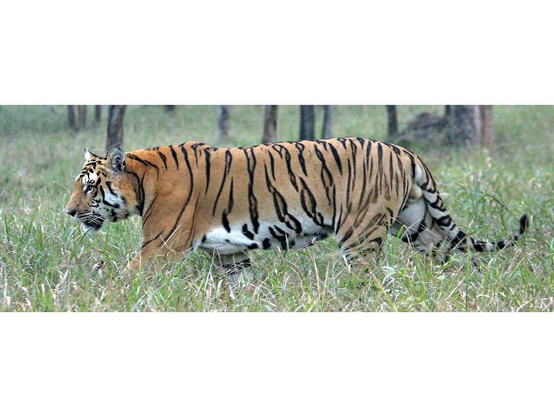 Royal Bengal tiger. Photo courtesy: DNPWC
