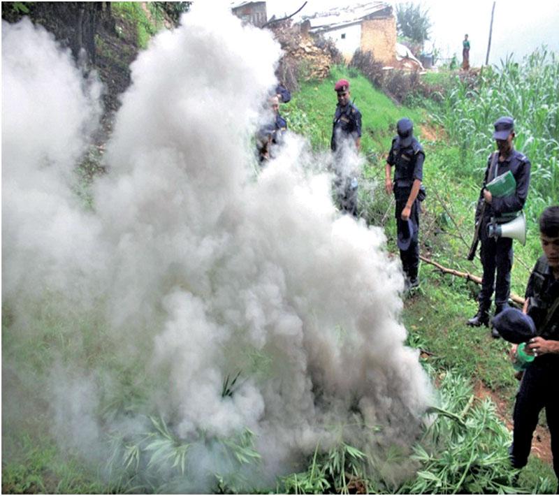 Cops destroying marijuana plants, in Lalitpur, on Saturday, July 2, 2016. Photo: THT