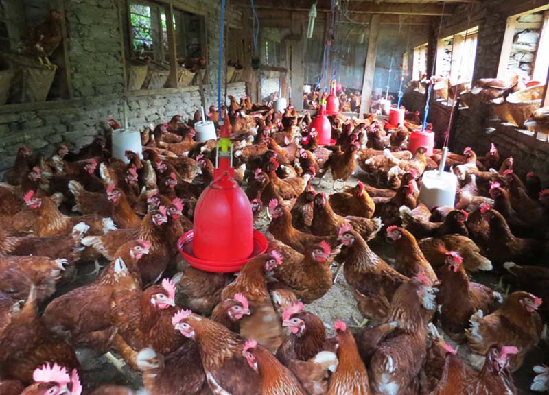 A commercial poultry farm in Baskuna of Myagdi district as seen on Monday, July 25, 2016. Photo: RSS