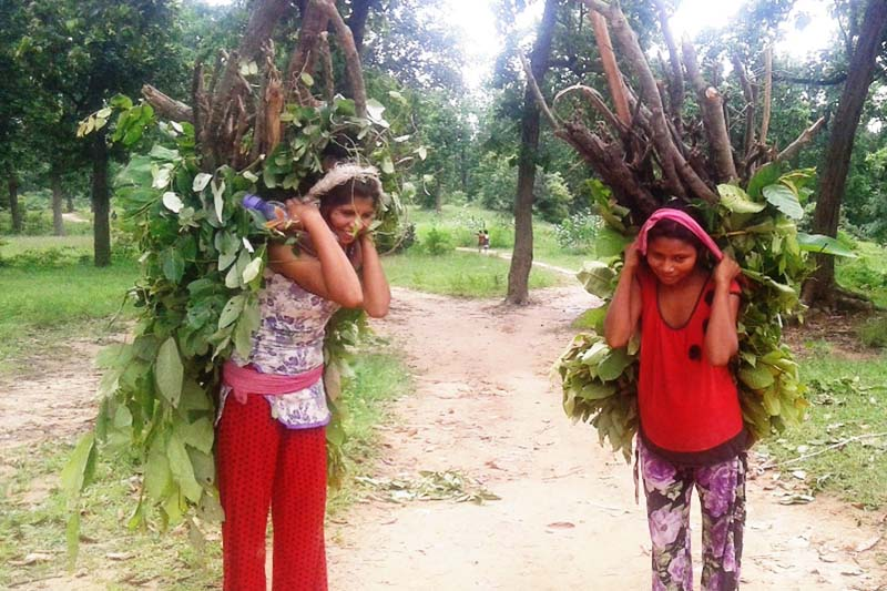 Women carrying fodder brought from nearby Kalika community forest in Kaluwapur, Kanchanpur on Tuesday, July 19, 2016. Photo: RSS