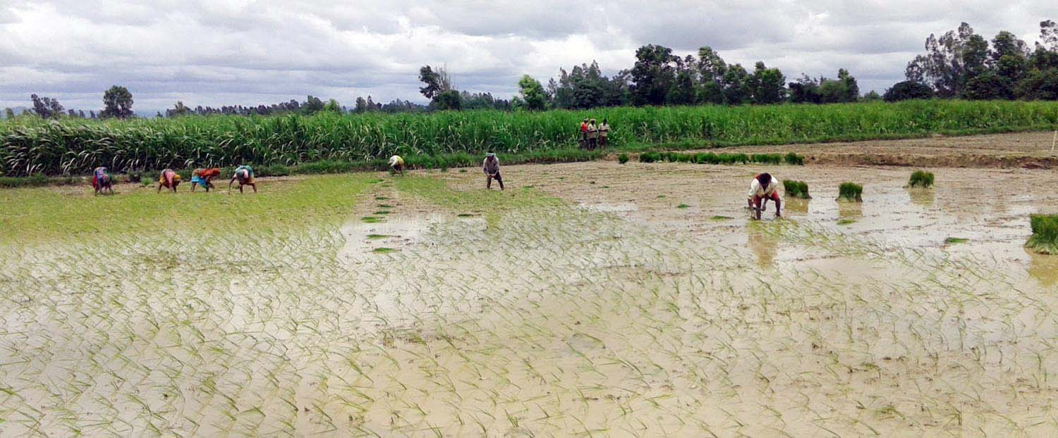 Farmers work in a paddy field in Bharatpur VDC in Mahottari district, on Thursday, July 14, 2016. Photo: RSS