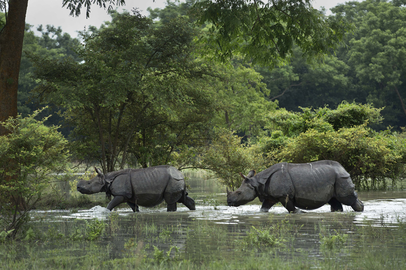 A pair of one-horned Rhinoceros wade through flood waters at the Pobitora Wildlife Sanctuary that was flooded following heavy monsoon rains at Pobitora, east of Gauhati, Assam state, India, Sunday, July 24, 2016. Photo: Reuters