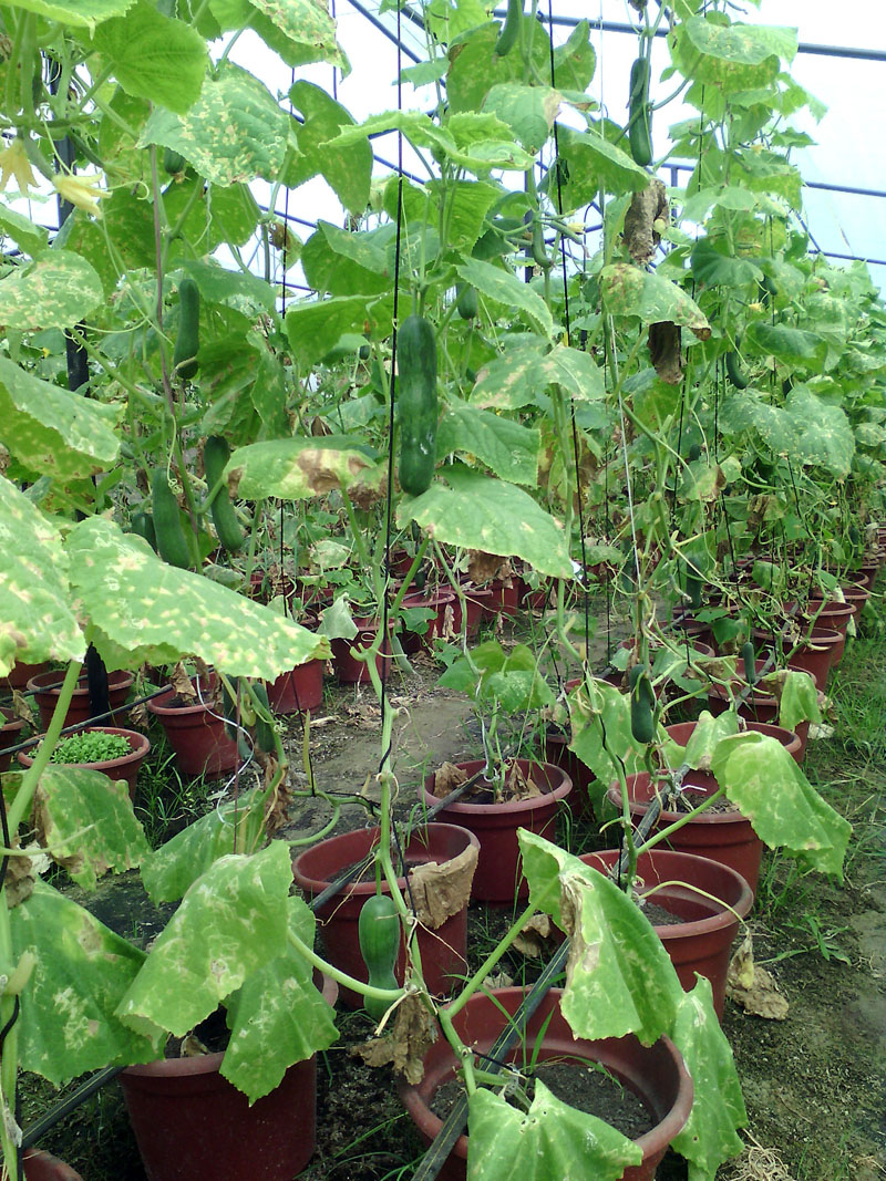 Cucumbers grown in flower pots at Ugrachandinala-1, Kavrepalanchok by Nepal Integrate Agro Farm Pvt. Ltd, on Saturday, August 13, 2016. The farm is producing vegetables using a mixture of organic fertilisers and husks of coconut. Photo: RSS