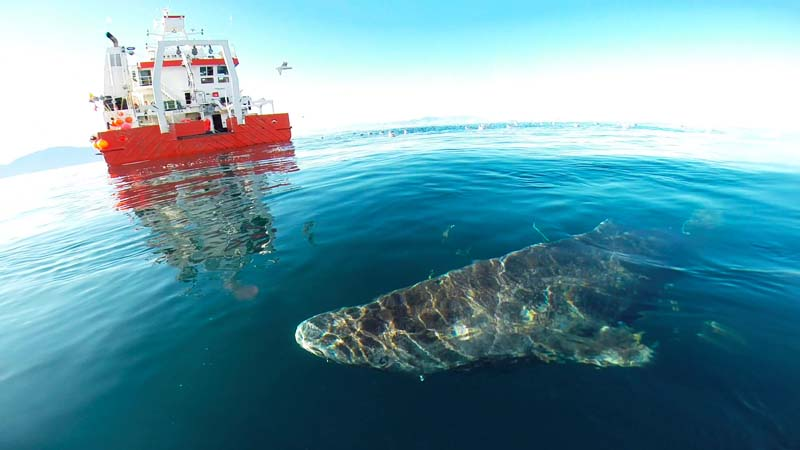 A Greenland shark swims near the surface after its release from the research vessel Sanna in northern Greenland, in this undated handout picture from Julius Nielsen. Photo: Reuters