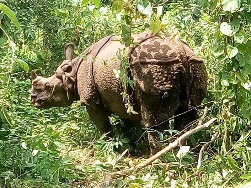 File - A one-horned rhino is injured after an attack from poachers at a forest of Chure region in Rautahat district, on Saturday, August 20, 2016. Photo: Prabhat Kumar Jha