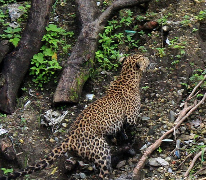 The leopard which entered into human settlements at Beshishahar in Lamjung disrict has been set free in a nearby forest of Udipur, Beshishahar in the district, on Monday, August 1, 2016. Photo: Ramji Rana