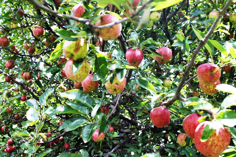 Ripe apples are seen hanging on a tree, in Marpha of Mustang, on Thursday, August 11, 2016. Photo: RSS