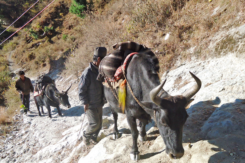 Yaks being used to transport salt in Khatyang of Mugu district, on Thursday, August 25, 2016. Photo: RSS