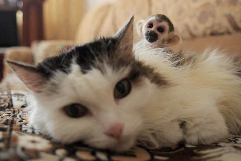 In this screen grab shows a 16-year-old cat called Rosinka, carrying a three-week-old baby squirrel monkey on her back, in Tyumen, Russia, on Saturday August 20, 2016. Photo: AP