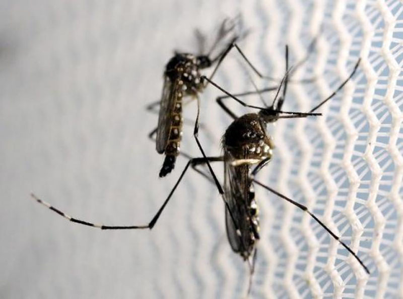 File - Aedes aegypti mosquitoes are seen inside Oxitec laboratory in Campinas, Brazil, on February 2, 2016. Photo: Reuters