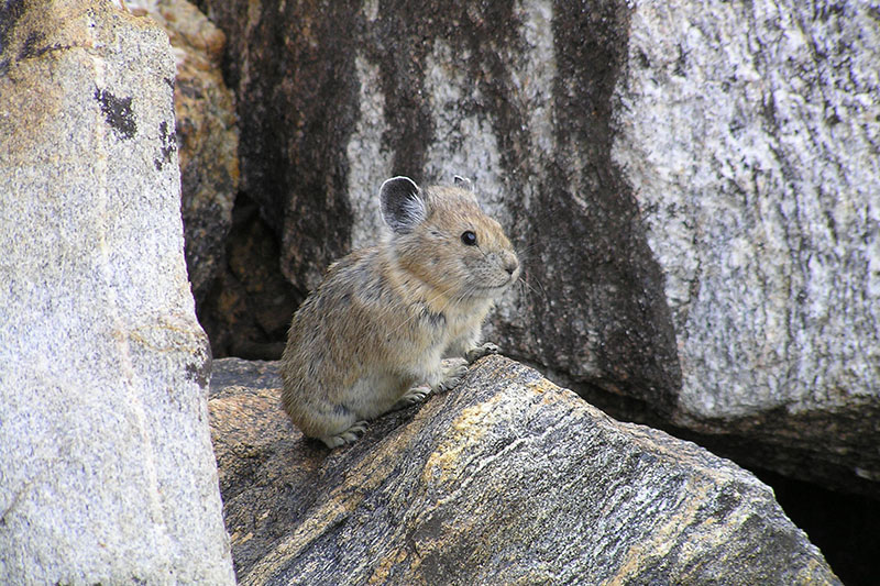 FILE - An American pika, on August 17, 2005. A new study shows populations of the rabbit-like animal known as the American pika are vanishing in many mountainous areas of the West as climate change alters habitat. Photo: Shana S. Weber/USGS, Princeton University via AP