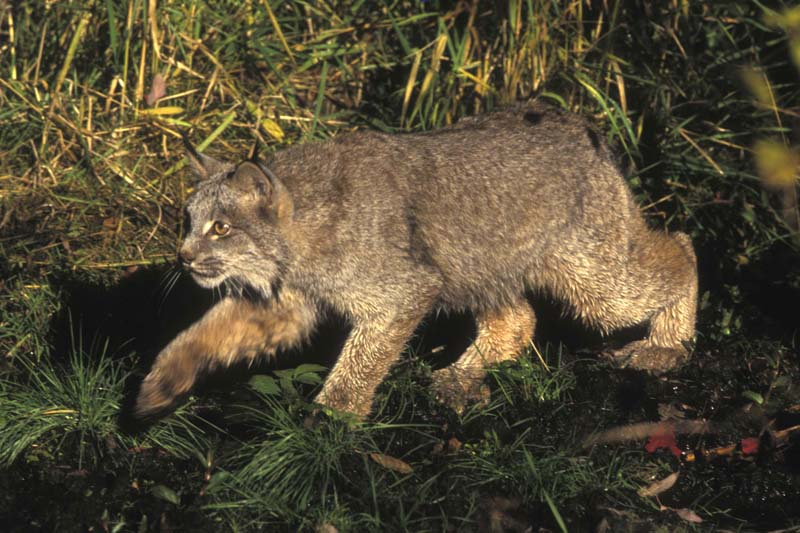 A Canada lynx is shown in this US Fish and Wildlife Service handout photo. Photo: US Fish and Wildlife Service via Reuters
