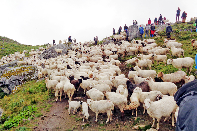 A flock of sheep is seen grazing in a hilly part of Myagdi district, on Thursday, September 1, 2016. Photo: RSS