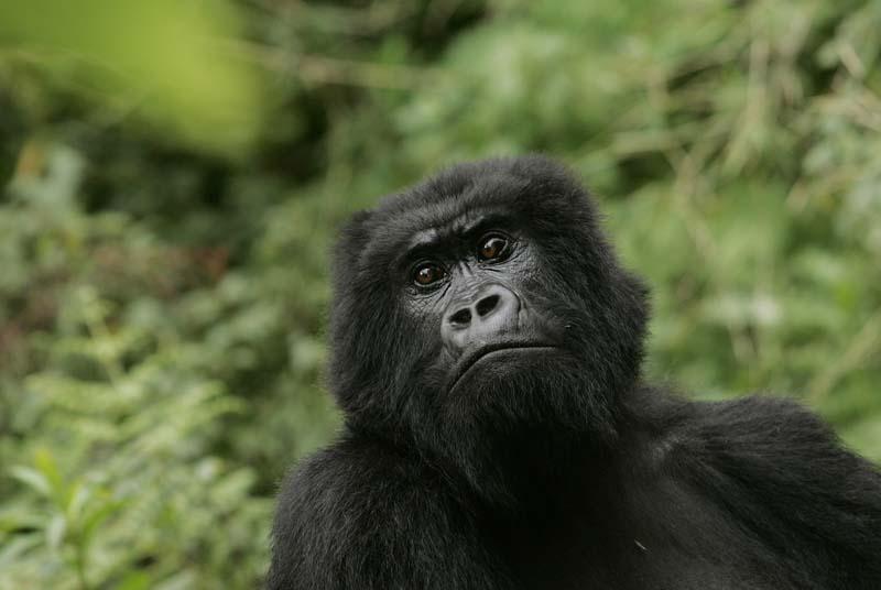 File- A gorilla looks on at Volcanoes National Park in Ruhengeri, Rwanda, on November 30, 2007. Photo: AP