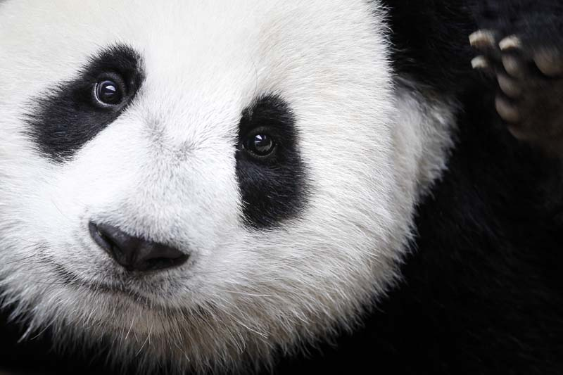 File- A giant panda named Nuan Nuan is shown at the Giant Panda Conservation Centre at the National Zoo in Kuala Lumpur, Malaysia, on August 23, 2016. Photo: AP