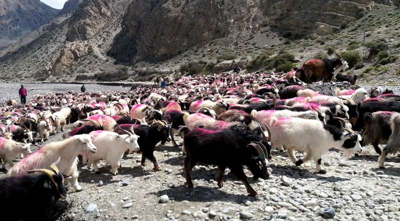 Sheep and billy goats seen at Jomsom being taken to Myagdi and Parbat from Jomsom of Mustang district for the upcoming Dashain festival. Photo: RSS