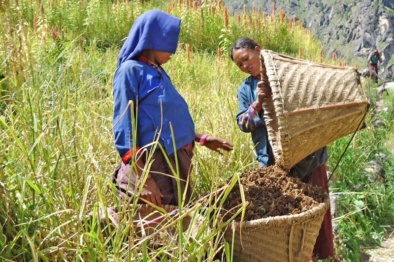 Women harvesting millet in Magri VDC-3 in Mugu district, on Thursday, September 29, 2016. Millet is considered a major crop in the district. Photo: RSS