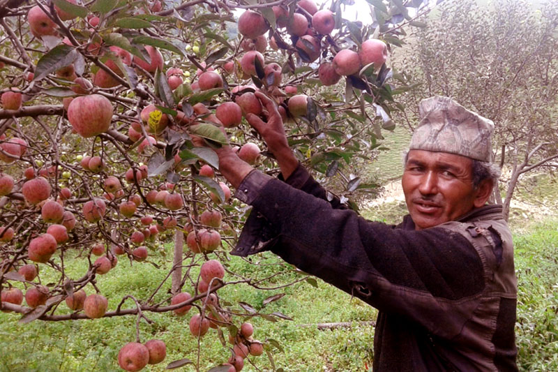 An apple farmer shows apples in his farm to visitors at Patmara, in Jumla on Thursday, September 1, 2016. Photo: RSS