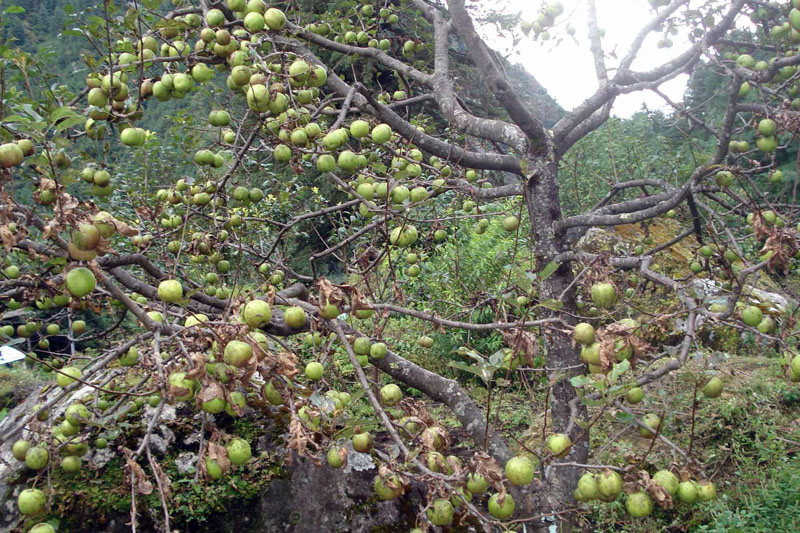 Green apples are seen on a tree in an apple farm in Manang district on Saturday, September 10, 2016. Photo: RSS