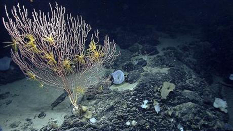 FILE - This undated file photo released by the National Oceanic and Atmospheric Administration made during the Northeast US Canyons Expedition 2013, shows corals on Mytilus Seamount off the coast of New England in the North Atlantic Ocean. Photo: AP
