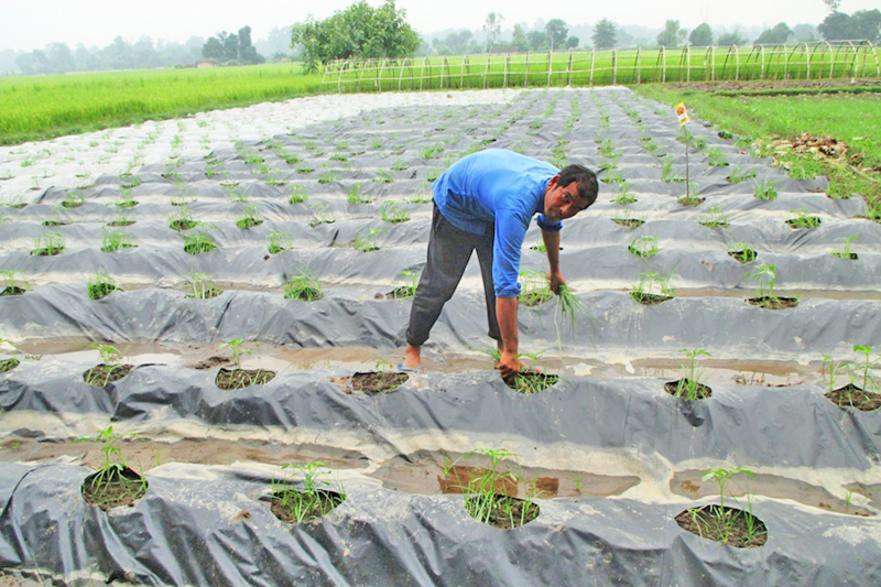A farmer uses a new technology to cultivate vegetables in his farm in Kanchanpur district, on Sunday, September 18, 2016. Photo: RSS